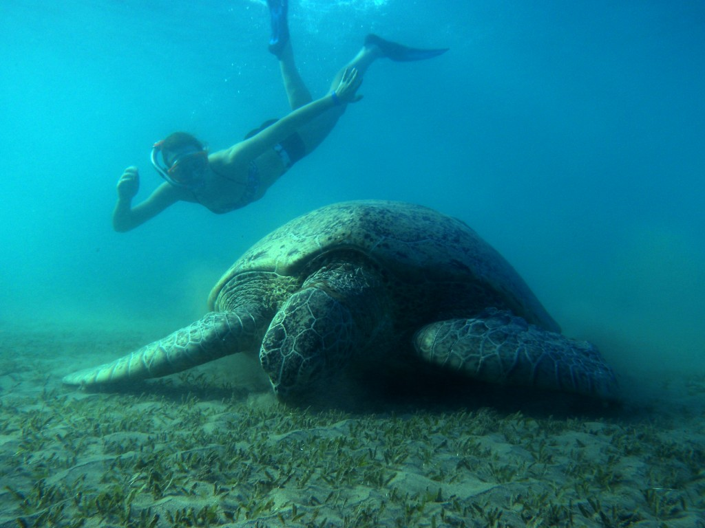 I was lucky enough to catch e few minutes with some giant green sea turtles in a bay.